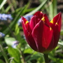 Tulip Helmar (Tulipa triumph (Triumph Tulip))
