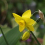 Sweetness (Narcissus jonquilla (Jonquil))