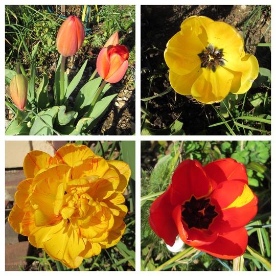 Open Wide (Tulipa)