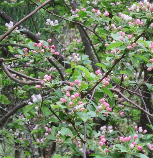 Crab Apple Tree 'Red Sentinel' (Malus x robusta)