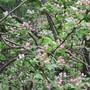 Flowering_crabapple