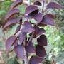 Cercidiphyllum japonicum 'Rotfuchs' (Cercidiphyllum japonicum)