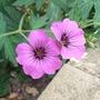 Geranium_cinereum_subsp_subcaulescens