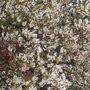 Amelancher (amelancher canadenis)