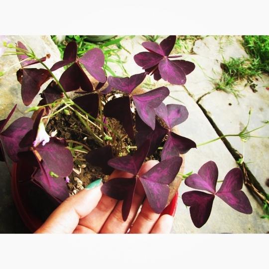 Purple shamrock (shamrock)