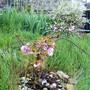 Prunus... it hasn't got any bigger since 2009... Agh!!!! (Prunus)