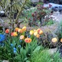 Tulips my OH bought and planted without telling me