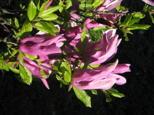 Magnolia Suzanne.