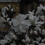 Magnolia (unknown name)