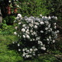 Mediterranean Viburnum tinus in its top season.