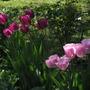 Tulip season II