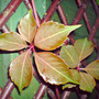 chinese virginia creeper (Parthenocissus henryana)