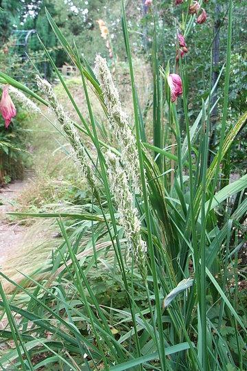 Sesleria autumnalis (Sesleria autumnalis)