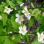 Kerria_japonica_albescens_2016