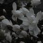 Detail of a white magnolia (for Derek)