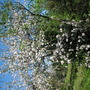 When Viburnum tinus and old vineyard apple tree bloom together.