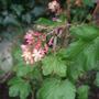 Ribes_x_gordonianum