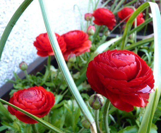 Ranunculus.  All thats in this planter now is six red Ranunculus and a few Dutch Iris.