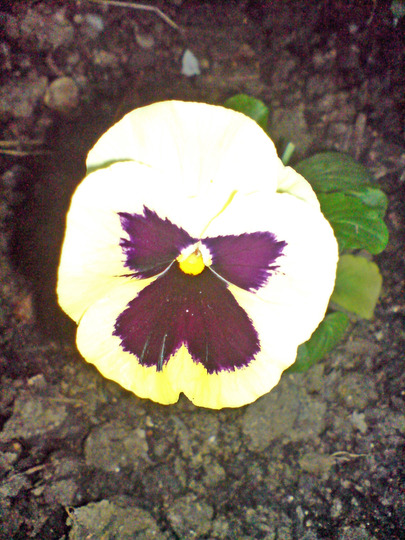winter pansy at night (viola)