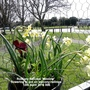 Rockery Narcissi 'Minnow' flowering in pot on balcony railings 13-04-2016 (Daffodil)