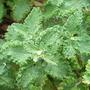 Teucrium_scorodonia_crispum_marginatum_foliage