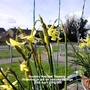 Rockery Narcissi 'Hawera' flowering in pot on balcony railings 13-04-2016 004