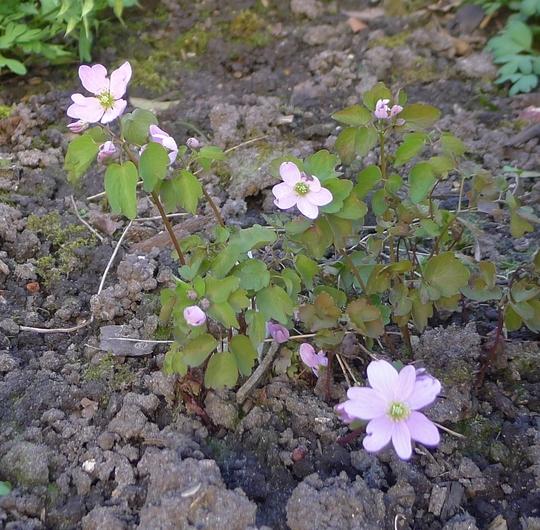 Anemonella thalictroides 'Babe' - 2016 (Anemonella thalictroides)