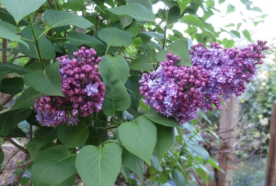 lilac starting to bloom