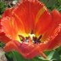 Single frilled Tulip