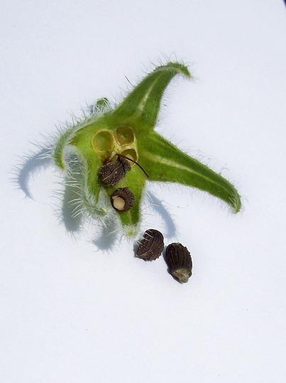 Borage Seeds Pod Grows On You