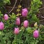 Tulip Alibi (tulipa)