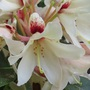Rhododendron Starbright champagne (Rhododendron Starbright champagne)