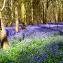 Bluebell_wood_hockering_.4