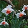 Narcissus under plaited Wisteria..... (narcissus)