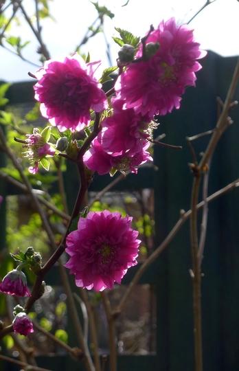 Rubus spectabilis 'Olympic Double' - 2016 (Rubus spectabilis 'Olympic Double')