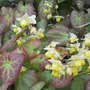 Bishop's Hat (Epimedium x versicolor Sulphureum)