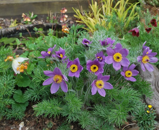 Pulsatilla and Geums..... (Pulsatilla vulgaris Rode Klokke.)