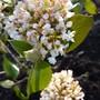 Viburnum carlesii...one of my favourite spring shrubs. (Viburnum carlesii (Viburnum))
