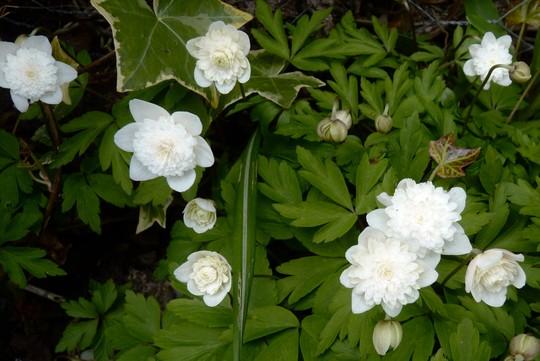 Anemone 'Vestal' (Anemone nemorosa (Windflower))