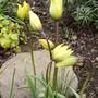 Tulipa (species) sylvestris (Tulipa sylvestris (Wild Tulip))