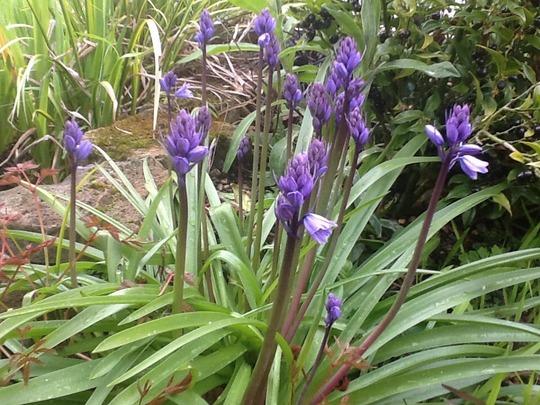Spanish bluebells (Hyacinthoides hispanica)