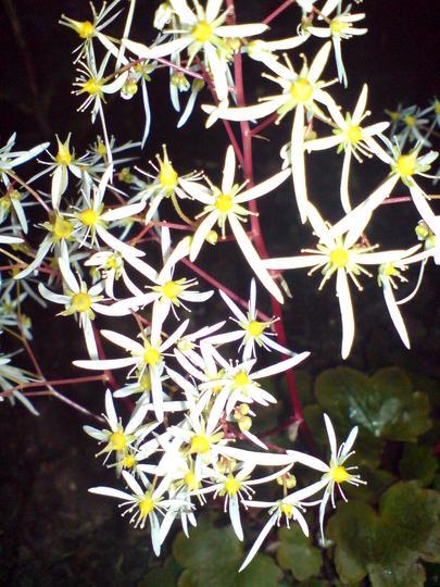 saxifrage rubrifolia (saxifraga fortunei)