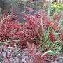 Fresh Red Foliage Astilbe 'Fanal' (Astilbe x arendsii (Astilbe))
