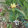 Little and larger (correctly orientated? (Iris pumila (Dwarf Flag))