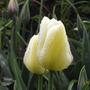 Angel's Wish (Tulipa Single Late)