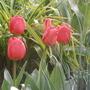 Apeldoorn (tulipa Darwin)