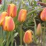 Apeldoorn Elite (tulipa Darwin)