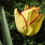 Cape Town (triumph tulipa)