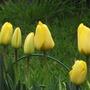 Golden Apeldoorn (tulipa darwin)