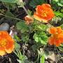 Geum 'Queen of Orange' (Geum)